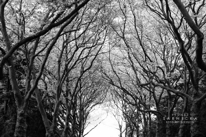 korony_drzew_na_cmentarzu_centralnym_20150719_2019177551